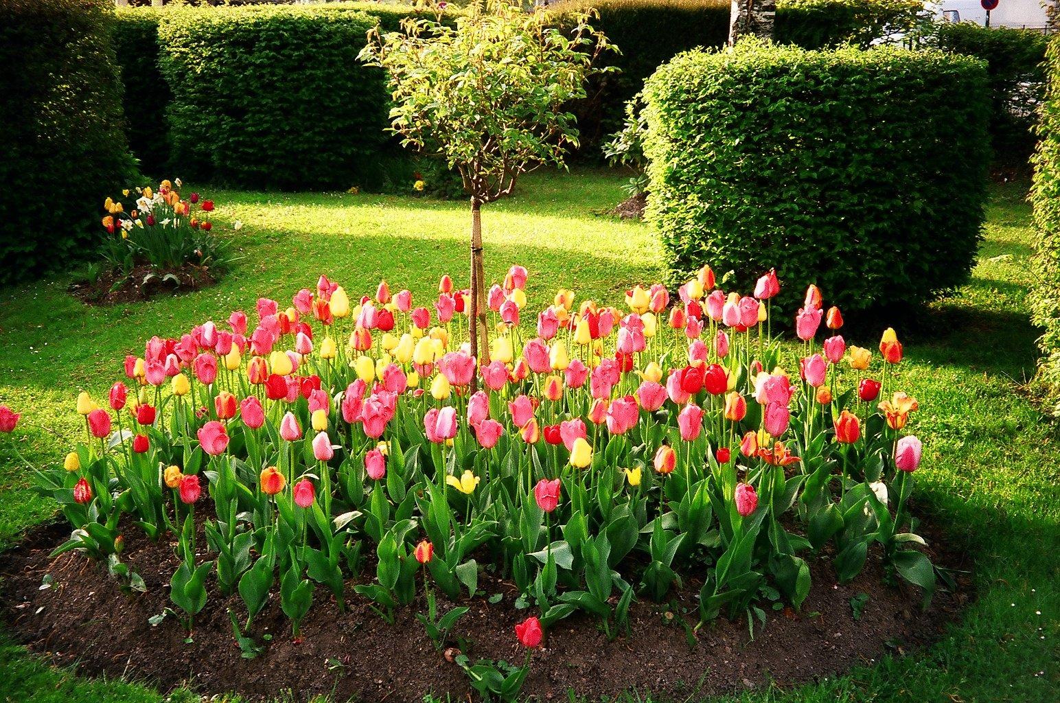 Le printemps avec ses tulipes narcisses jonquilles un savoir faire - Faire un parterre de fleurs ...